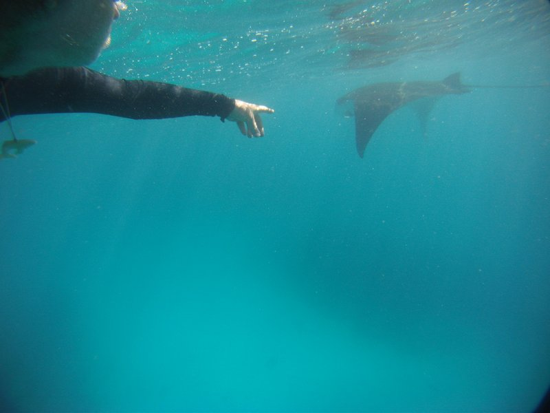Swimming with manta rays off Lady Musgave island