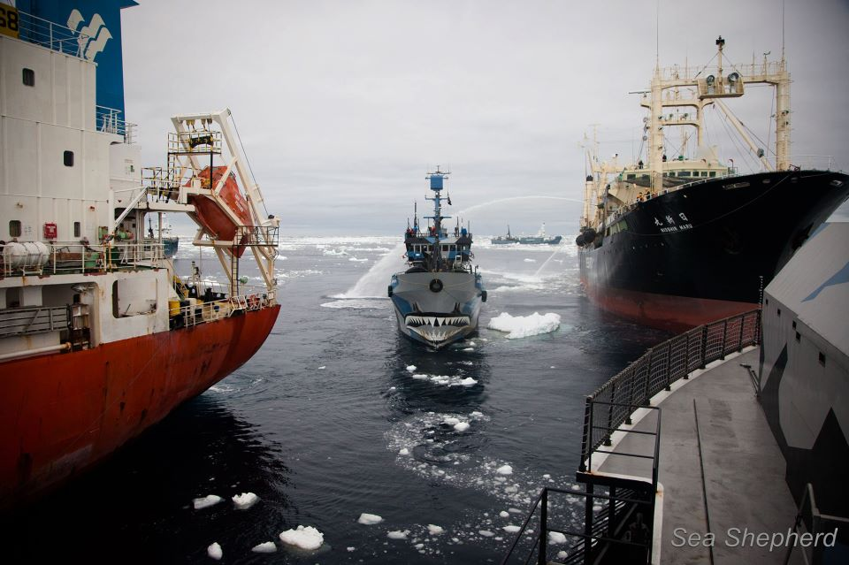 Sea Shepherd Ship the Bob Barker Blockading illegal refueling of the Nisshin Maru