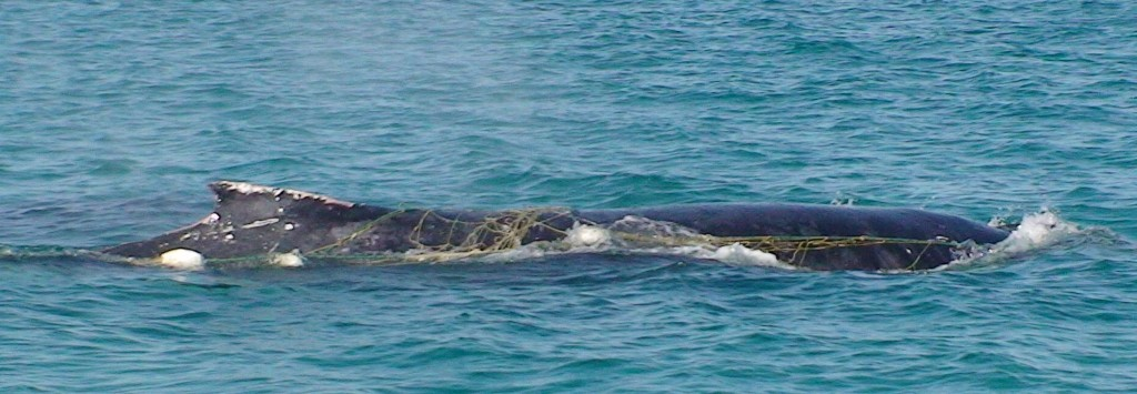 Whale tangled in shark net Hervey BAy 18th Aug